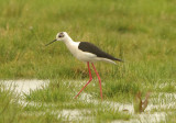 Black-winged Stilt - (Himantopus himantopus)