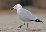 Audouine's Gull - Ichthyaetus audouinii