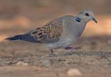 Turtle Dove - Streptopelia turtur