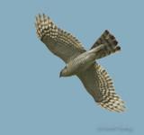 Sparrowhawk - Acipier nisus