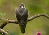 Peregrine Falcon - Falco peregrinus (juvenile)