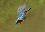 Common Kingfisher - Alcedo athis
