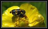 Checkered beetles (Trichodes nutalli) and Crab spider