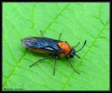 Birch sawfly (Arge pectoralis)