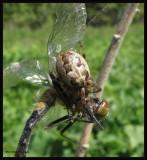 Bridge orb weaver (Larinioides), female,  with prey