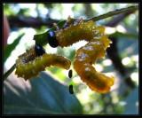 Argid sawfly larvae on oak