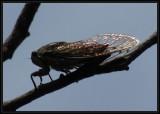 Cicada in sunlight  (Tibicen canularis)