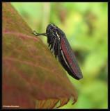 Leafhopper (Cuerna striata)