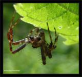 Garden cross orb weaver (Araneus diadematus), male