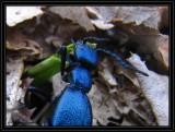 Blister beetle (Meloe sp)