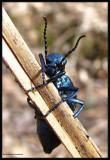 Blister beetle (Meloe sp.), female
