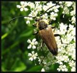Flower longhorn beetle (Trigonarthris sp.)