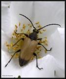 Long-horned Beetles (Cerambycidae)