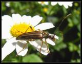 Flower longhorn beetle (Analeptura)