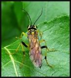 Sawfly (Tenthredo verticalis)