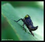 Leafhopper nymph (Coelidia olitoria)