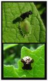 Clavate Tortoise Beetle (Plagiometriona clavata), larva and adult