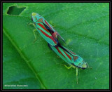 Mating leafhoppers (Graphocephala)