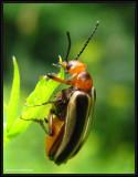 Blister beetle (Zonitis sp.)