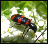 Checkered beetle (Trichodes nutalli)