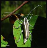 Round-headed apple borer, longhorn beetle (Saperda candida)