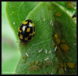 Fourteen-spotted ladybeetle with aphids