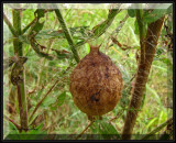 Egg sac of the Black and yellow argiope (Argiope aurantia)