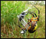 Black and yellow argiope, female (Argiope aurantia) wrapping prey with silk