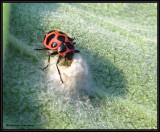Spotted ladybeetle  (Coleomegilla maculata)