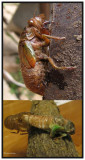 Cicada emergence  (Tibicen canularis)