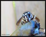 Paper Wasps (Family: Vespidae, Subfamily: Polistinae)