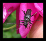 Longhorn beetle. poss. Anoplodera sp.