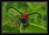 Milkweed beetle (Tetraopes tetrophthalmus)