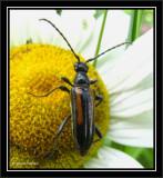 Flower longhorn beetle (Strangalepta abbreviata)