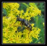 Flower longhorn  (Typocerus sparsus)