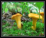 Possibly Chantarelle mushrooms