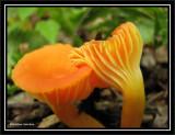 Yellow mushroom, possibly a Chantarelle