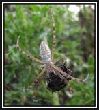 Banded argiope (Argiope trifasciata), female