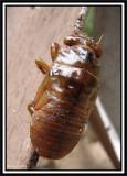 Cicada nymph (Tibicen canularis)