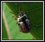 Willow calligrapha beetle (Calligrapher multipunctata)