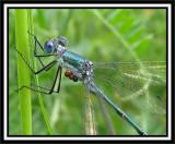 Spreadwings (Family: Lestidae)