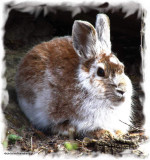 Eastern Cottontail Rabbits and Snowshoe Hares