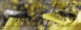 Sawfly (Dolerus nitens)