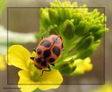Spotted ladybeetle (Coleomagilla maculata) on mustard
