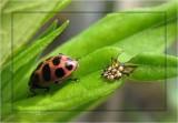 Spotted ladybeetle (Coleomegilla maculata) and Neogalerucella eggs