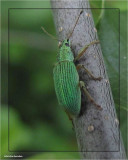 Pale green weevil (Polydrusus impressifrons)
