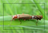 Mating soldier beetles (Rhagonycha sp.)