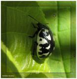 Calligraphic beetle (Calligrapha pnirsa)