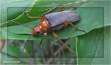Flower longhorn beetle (Stenocorus schaumii)