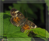 Northern crescent (Phyciodes selenis), female